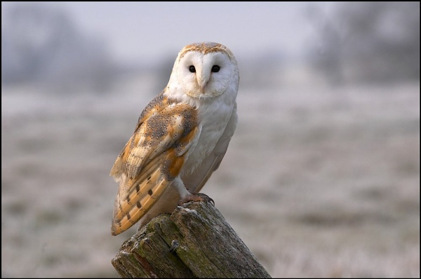 Barn Owl 2 by MikeH