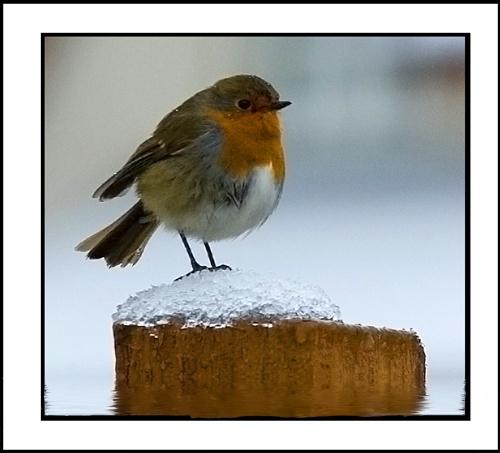 Robin by ddunn