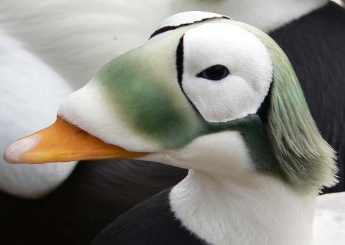 Eider Duck (I think) by SueMarshall