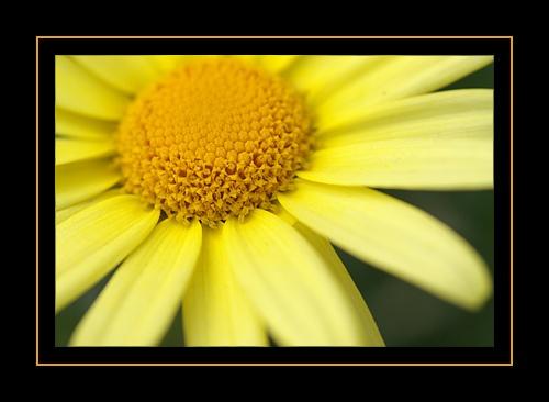 Yellow Flower 2 by RSaraiva