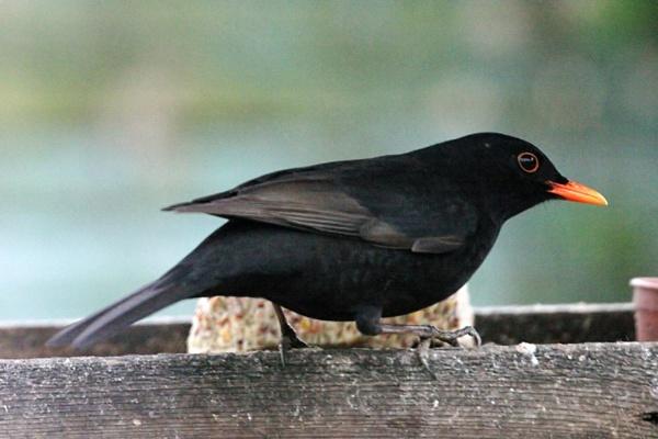 Blackbird by Saxon Marsh