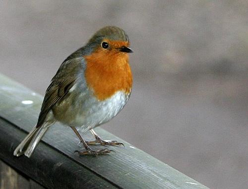 Coy Robin. by Shirley