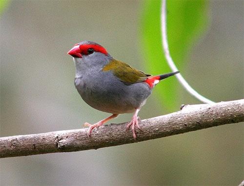 Red Browed Finch by minniemanx