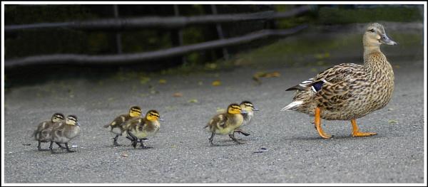 Duck Parade (repost) by mttmwilson