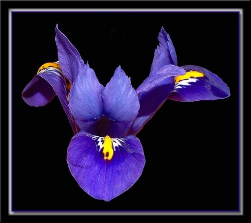 Iris 2 by simont