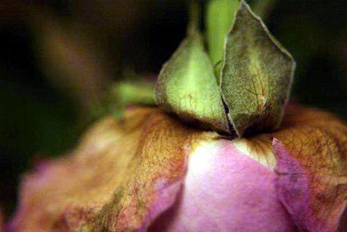 Wilting Rose by tracyamner