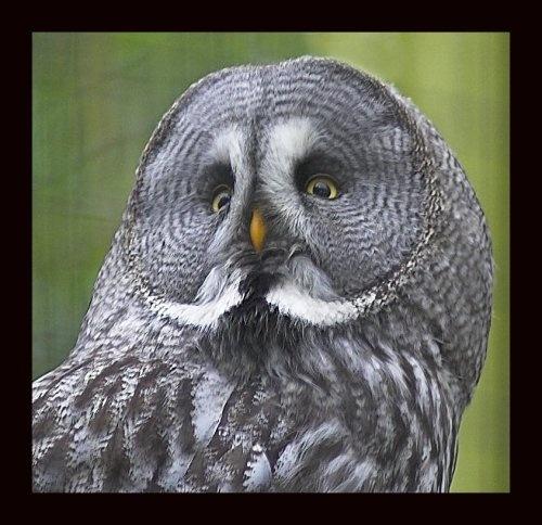 great grey owl by paul_chong