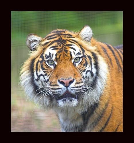 sumatran Tiger by paul_chong