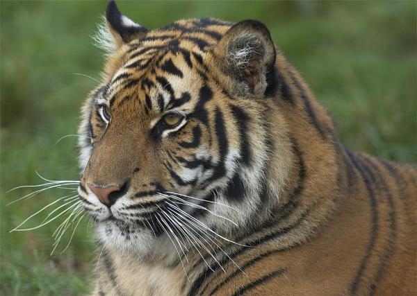 WHF Tiger by ReidFJR