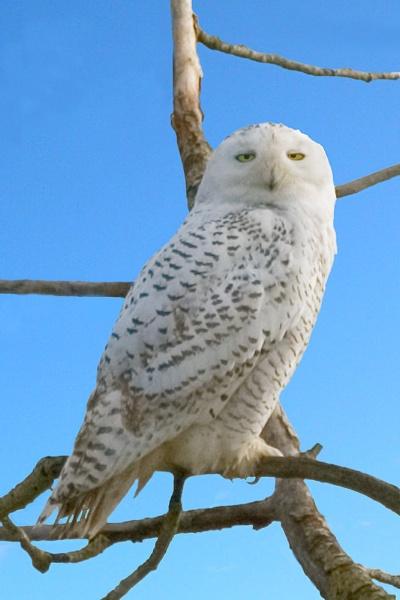 Snowy Owl by BerthaDBluze