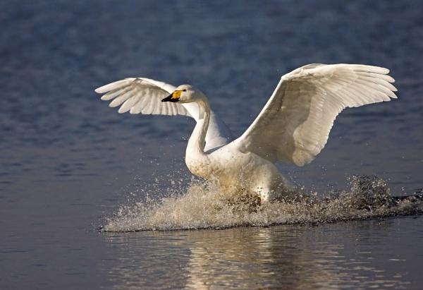 Swan by John_Wannop