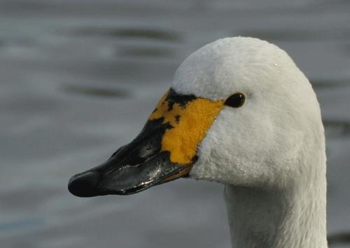berwick swan by nigelo