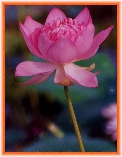 Lotus by rajasekaranamie
