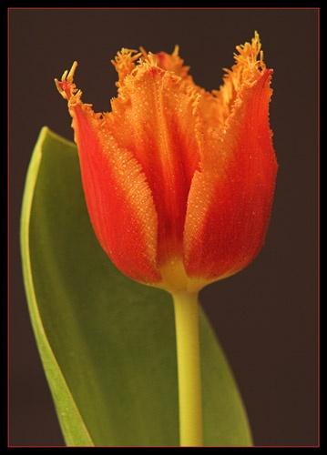 Tulip by Max_WW
