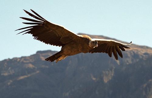 Condor by ihana