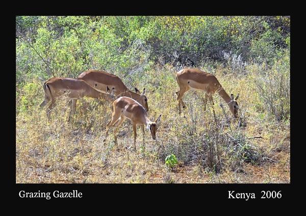 Thomson\'s gazelle by Kim Walton