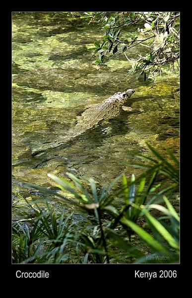 The Crocodile by Kim Walton