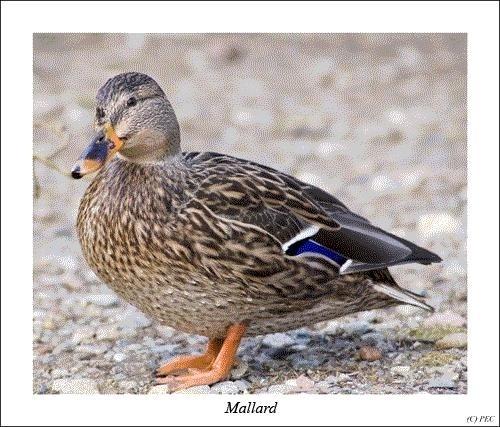 Female Mallard by uncle