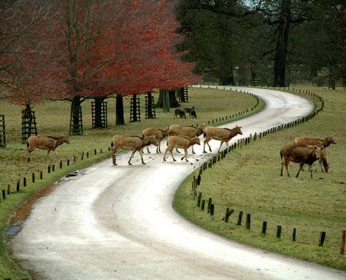 Woburn Deer by martinduke