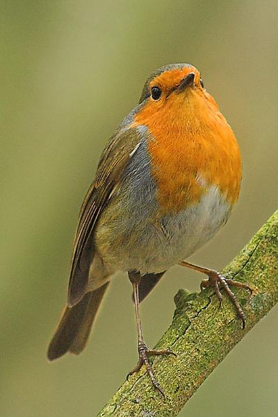 Robin by Glamrox