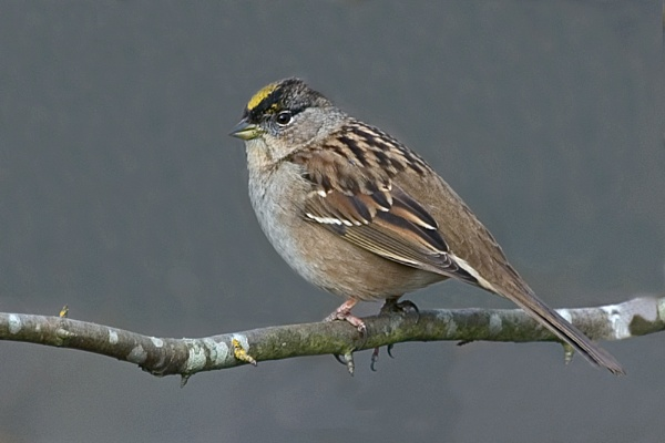 Golden-Crowned Sparrow 2 by BerthaDBluze