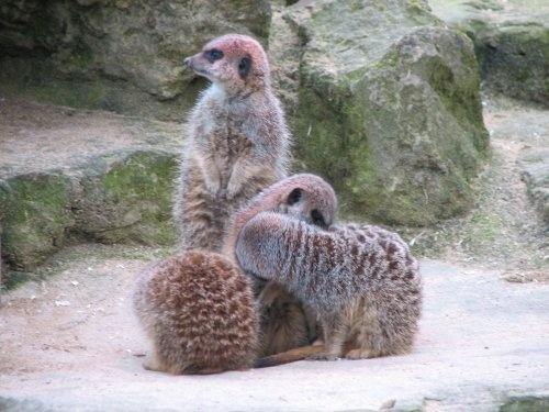 Meerkats by tig124
