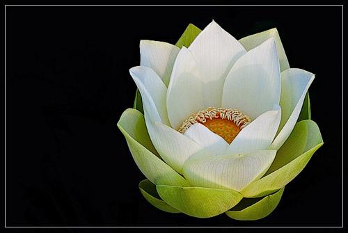 Lotus by melbrackstone