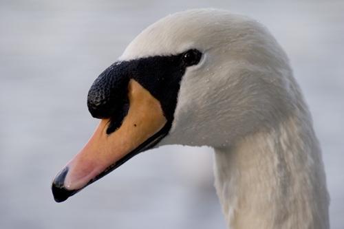 Mr Swan by RabBower