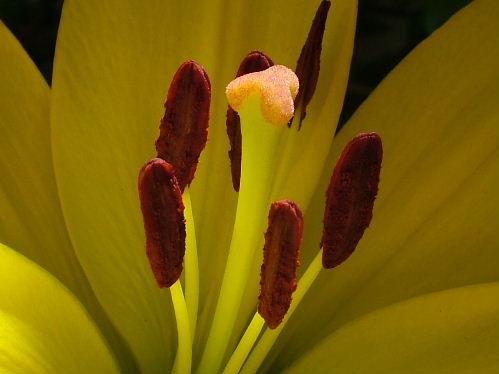 lily by pamelajean