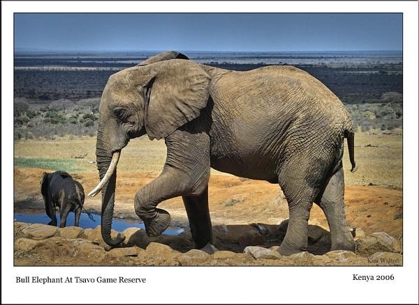 Bull Elephant @Voi by Kim Walton