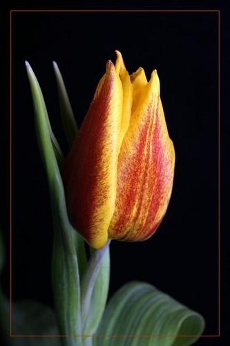Tulip III by robporter