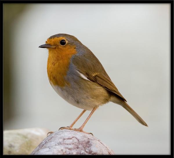 A Robin Portrait by eosdpete