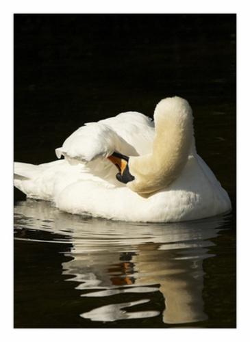 Mute Swan by sasha