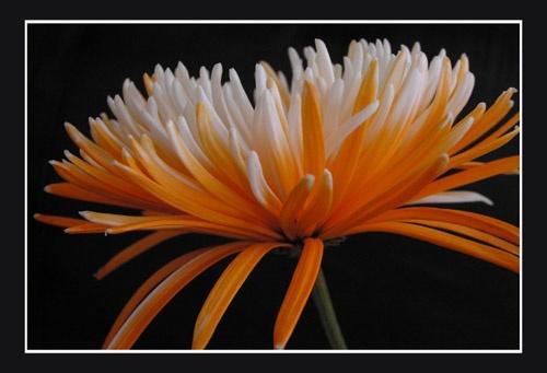 Chrysanthemum 1 by aseshuk