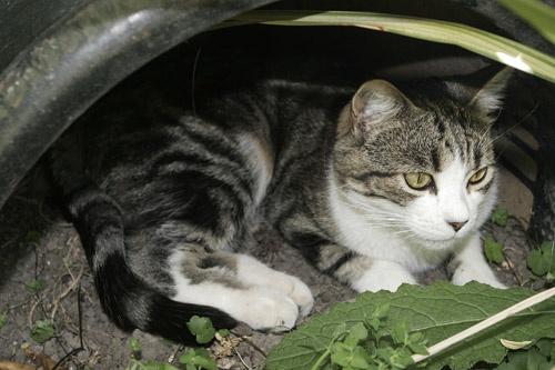 jungle puss by brad