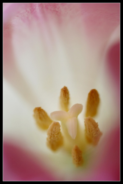 Tulip Stamen by Morpyre