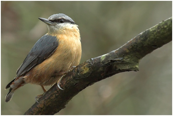 Naturally Perched Nuthatch by Glamrox
