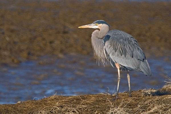 Blue Heron by BerthaDBluze