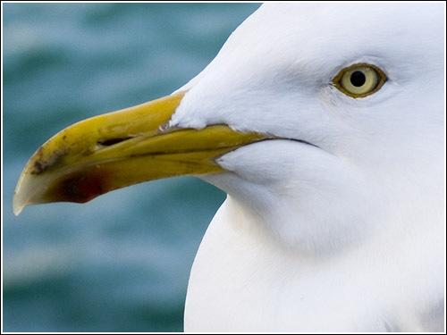 Gull by JamesAB