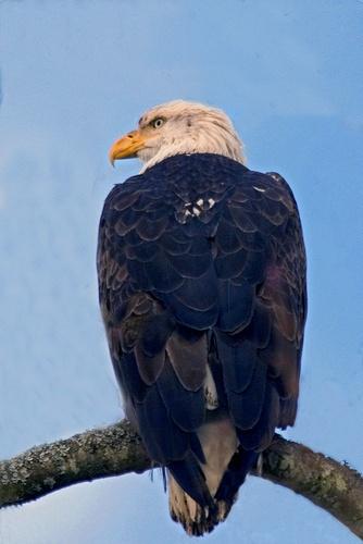 American Bald Eagle by BerthaDBluze
