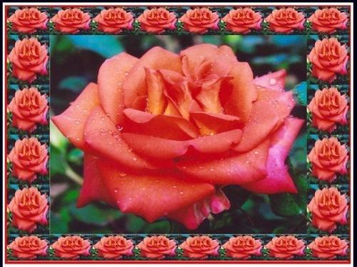 Roses frame by rajasekaranamie