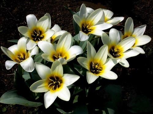 Tulips by Hobo
