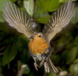 Robin in Flight 3