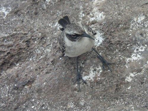 Mockingbird by Hamish_Dee