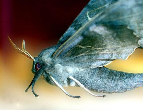 Moth by Zephyrphoto