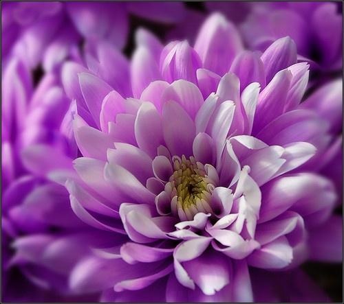 Chrysanthemum by rojo-uk