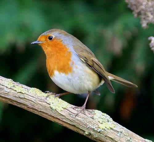 Robin by jonjeds