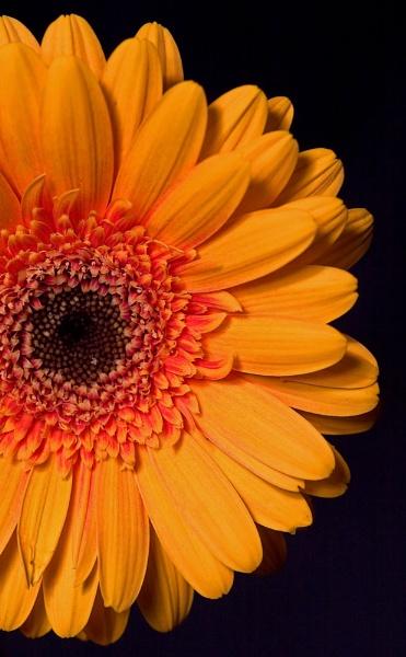 Yellow Gerbera by gmuncaster