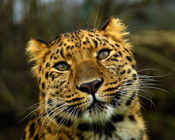 Amur Leopard by gary900r