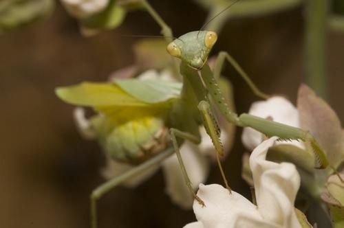 Praying Mantis by bentspace